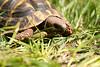 Speedy erobert den Garten (junghahn24) Tags: frühling griechischelandschildkröte landschildkröte olympus olympusm45mmf18 olympusomd olympusomdem5 schildkröte speedy spring teamolympus turtle berlin deutschland de
