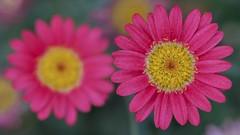 Pink Flowers (billcoo) Tags: xf80mm fujifilm garden bokeh fujinon