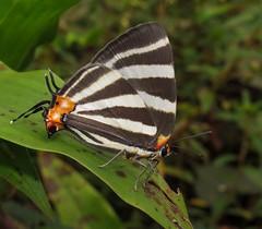 Panthiades bathildis (hippobosca) Tags: hairstreak panthiadesbathildas macro lycaenidae panama lepidoptera butterfly
