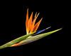 Bird of Paradise (Eddy Summers) Tags: flower pixelshift k1captures dfa100mm28 pentaxk1 pentaxaustralia petals plant botanics nature vibrant macro birdofparadise strelitzia