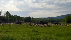 2018-04-29_06-07-46 (faicaljalal) Tags: herd sheep nature troupeau mouton campagne sky ciel cielo clouds nuage landscape