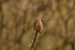 Linnet (jon lees) Tags: countydown coastal northernireland bird ballyholme groomsport ballymacorrmick point