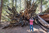 Lessons to Teach, Lessons to Learn (grimeshome) Tags: calaverasbigtreesstatepark calaveras calaverascounty bigtrees tourism touring nature statepark education giantsequoia giantsequoiatree tree trees roots camera photography sightseeing hiking tamron tamronlenses wideangle