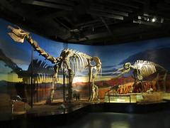 Paraceratherium (D-Stanley) Tags: paraceratherium museum turpan xinjiang china palaeontology mammal rhinoceros