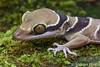 Cyrtodactylus bintangtinggi (Steven Wong (ATKR)) Tags: steven wong siew por atkr45 stryker wsp atkr herp herping malaysia cyrtodactylus bintangtinggi