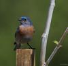 Western Bluebird (Sialia mexicana) (Dude in CA) Tags: california usa oceanside guajomelake westernbluebird sialiamexicana