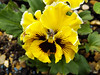 Cornish Colours!! (Cornishcarolin. Stupid busy!! xx) Tags: cornwall penryn flowers pansy beauty nature cornishcolours
