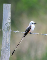 Scissor-Tailed Flycatcher (Ed Sivon) Tags: america canon nature wildlife wild western southwest bird galveston flycatcher