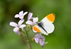 Madama Butterfly (Marcandalli.Mauro - 2.000.000 di visite) Tags: aurora anthochariscardamines