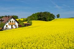 Niederbayern ist schön! (Janos Kertesz) Tags: bayern niederbayern raps frühling field yellow nature blue countryside flower landscape farm agriculture green canola plant farming spring