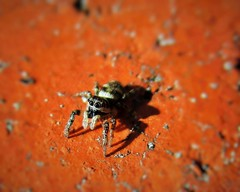 Zebra jumping spider (seanwalsh4) Tags: spider zebrajumpingspider 5mm salticusscenicus tiny young 4pairsofeyes pouncingonprey daytimehunter