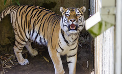 National Zoo 3 May 2018  (362) Tiger (smata2) Tags: tiger tigre smithsoniannationalzoo zoo zoosofnorthamerica itsazoooutthere animals zoocritters bigcats flickrbigcats