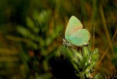 Green Hairstreak (farrertracy) Tags: butterfly green dorset heathland spring greenhairstreak