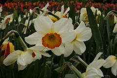 _MG_5665 (condor avenue) Tags: tulipfestival skagitvalley washington flowers colorspam skagitcounty tulipfields hyacinths daffodils spring