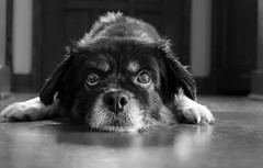 A Little Upset (Lee of Western PA) Tags: door bw monochrome eyes mutt upset floor hardwood animal doggy g7x canon paws