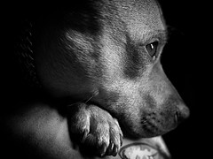 (GLKPhotos) Tags: dog pet staffie staff staffordshirebullterrier terrier luna details tones tonalcontrast contrast shaded shadows lightandshade fur whiskers relaxing paw eye catchlight tired watching bed atmospheric dark blackandwhite monochrome mono bw uncropped panasonic lumix gx8 primelens f17 portrait posing home depthoffield shallow face nose textures naturallight windowlight resting blanket flickrunitedaward