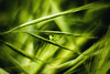 Camuflaje ( Y II ) (J. Javier Nerín.( Busy. Training orcs.)) Tags: helios442 lensinverted grasshopper green grass spring extensionring