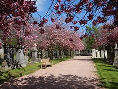 May Blossom (Ian Robin Jackson) Tags: graveyard graves gates may spring blue pink aberdeen scotland scottish colours sunday