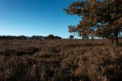 Heathland (michael_hamburg69) Tags: lüneburgerheide niederhaverbeck bispingen germany deutschland heide heath heather heathland heideland wilsederberg