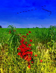 Spring,poppies and migratory birds (Uscè (OFF,OFF!!!!!)) Tags: countryside birds colour view poppies sky skyline panorama green bleu red yellow nature exposure marche italy jesi photo landscape texture eugenio coppari uscè iphone7 country light flowers
