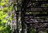 Wisteria Cascade #5 (Keith Michael NYC (4 Million+ Views)) Tags: wisteria conservatorygarden centralpark manhattan newyorkcity newyork ny nyc