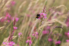 Bee on pink flower (evenkolder) Tags: stonehenge bee flower field nature bees uk england canon6d canon canoneos6d lightroom