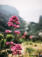 Sormiou Floral mai 2018 -  17 (akunamatata) Tags: sormiou floral balade mai 2018 parc des calanques park provence fleurs flowers sentier sciatique