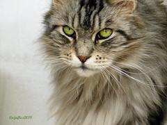 Floris (still not much time for Flickr) (Cajaflez) Tags: kat kater chat katze gatto pedigree raskat mainecoon floris