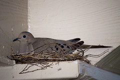 Dove (zjadamsphoto) Tags: bird dove oklahoma moore apartment nikon d3200 dslr jpg nest ledge