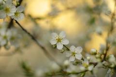 White perfume (Baubec Izzet) Tags: baubecizzet pentax blossom white nature flower spring