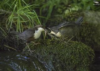 Dipper Feeding Fledgling