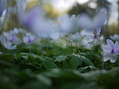 Spring symphony (Päivi ♪♫) Tags: woodenanemone anemonenemorosa valkovuokko hvitveiss forest island may white green norway oslo