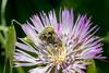 Pillados *in explore* (bienve958) Tags: flores macro santquirze flowers colors spring polen insectos polinización pdc dof