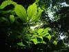 Wish you a happy new week! (Tabea-Jane) Tags: green leaves sun sunlight tree park spring chestnut grün laub blätter kastanie baum sonne licht frühling