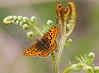 pearl bordered fritillary (alunwilliams155) Tags: craigadwywynt pearlspottedfritillarybutterfly brithegberlog boloriaeuphrosyne fern