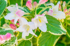 Spring Flowers Weigela (SLHPhotography1990) Tags: spring flowers blossom colour riot beauty beautiful nature life plants garden bloom patterns shapes petals weigela british white pink