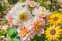 Spring Flowers Dahlias (SLHPhotography1990) Tags: spring flowers blossom colour riot beauty beautiful nature life plants garden bloom patterns shapes petals dahlia pink soft pale cape african daisy osteopermum