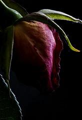 I FIORI COME LI VEDO IO.... (FRANCO600D) Tags: lowkey hmm macromondays macromondaysthemelowkey macro macrofotografia bocciolo bocolo bocolodesanmarco leggenda rosa fiore canon eos5d franco600d