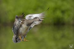 Anas strepera, Canapiglia, Canard chipeau, Gadwall (Xrupex) Tags: anasstrepera canapiglia canardchipeau gadwall wings nature bird waterbird ornithology birdwatching