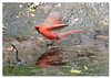 Northern Cardinal Bathing (Redtail10025) Tags: northern cardinal red male bathing water birds birding spring migration nyc central park wildlife nature