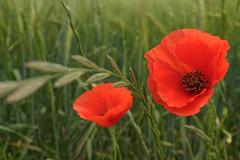 Poppies (mikael108) Tags: girona espanha españa spain 23mmf2 fujifilm x100t spring vermelho red papoulas papoilas poppies