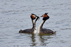 Чомга, Podiceps cristatus, Great Crested Grebe (Oleg Nomad) Tags: чомга podicepscristatus greatcrestedgrebe птицы фотоохота москва birs aves moscow