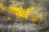 """Ginster"" (Günter Nietert) Tags: ginster ginsterbusch mehrfachbelichtung doppelbelichtung stapelverarbeitung botanischergartenbayreuth pfingstrose frühling frühblüher mai blumen blüten canon"
