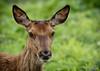 Deer @ Oostvaarderplassen (Thijs de Groot Photography) Tags: canon 80d thijsdegroot thysphotography thysson grassland outdoor spring wildlife oostvaarderplassen holland netherlands deer