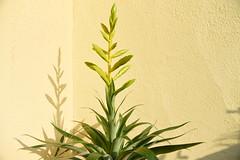 Tillandsia oerstediana (manni0656) Tags: tillandsia oerstediana
