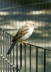 Sparrow, Central Park, New York City, USA. (Roly-sisaphus) Tags: nyc thebigapple unitedstatesofamerica parks wildbirds