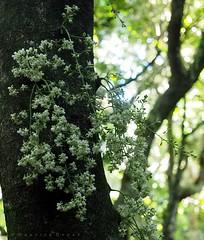 Kohekohe flowers (Maurice Grout) Tags: wellington newzealand northisland kohekohe flowers tree cauliflory dysoxylumspectabile