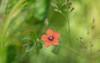 we seek him here, we seek him there... (Emma Varley) Tags: flower wild scarletpimpernel westsussex may spring orange pink yellow tiny baronessemmaorczy play novel thescarletpimpernel