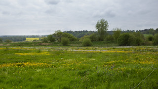water meadow yellows