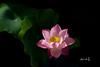 Lotus (Jennifer 真泥佛) Tags: 荷花 lotus 露珠 清晨 ハス 綻放 詠荷